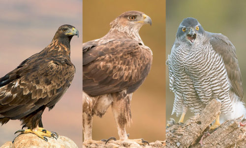 Raptors photography trip in East Spain
