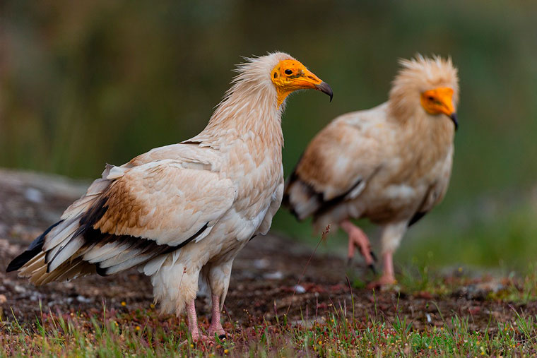 hide-arribes-voltors-buitres-vultures-pl