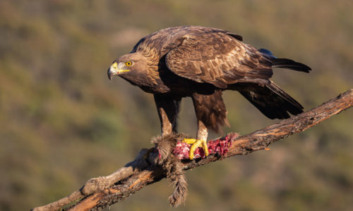 golden-eagle-hide-aguila-real-andujar