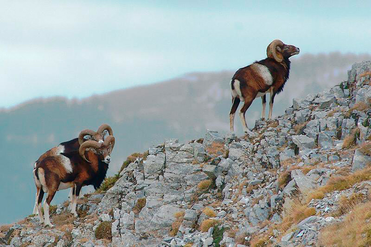 Muflo-muflon-mouflon-photo logistics
