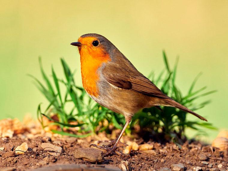 aran-pit-roig-peti-rojo-robin-hide